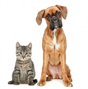 tabby cat and boxer dog